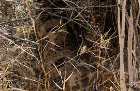 Rattlesnake in Carrizo Gorge - Anza Borrego