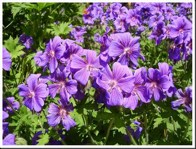 Geranium purple