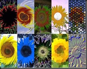10 10 10 Sunflowers6