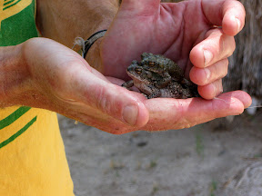 Pair of toads at the Carrizo Palm Grove Anza Borrego