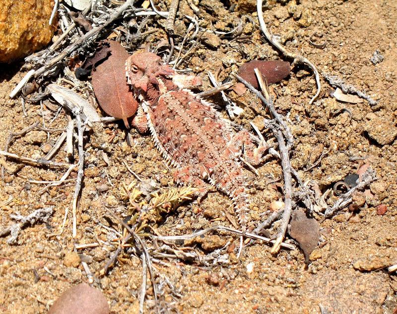 Reddish Flat-Tailed Horned Lizard near Combs Peak Anza Borrego