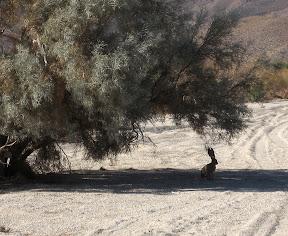 Anza Borrego - Jackrabbit in Carrizo Gorge