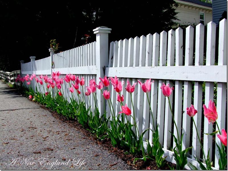 Tulips on fence b