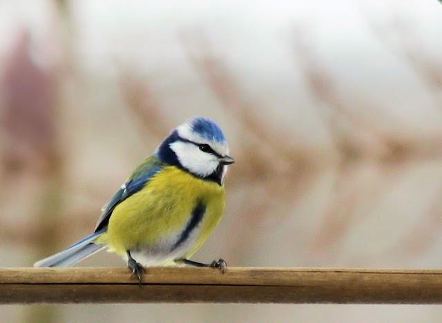 les oiseaux du jardin (fil ouvert) _MG_1477mod1