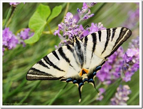 20070624_144242_LavenderButterfly