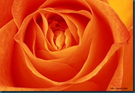 rose10 (2)