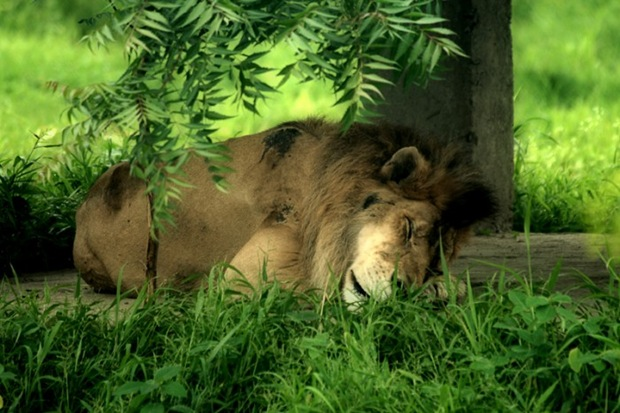 lion-in-slumber