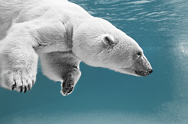 Wildlife-photography-polar-bear-under-water