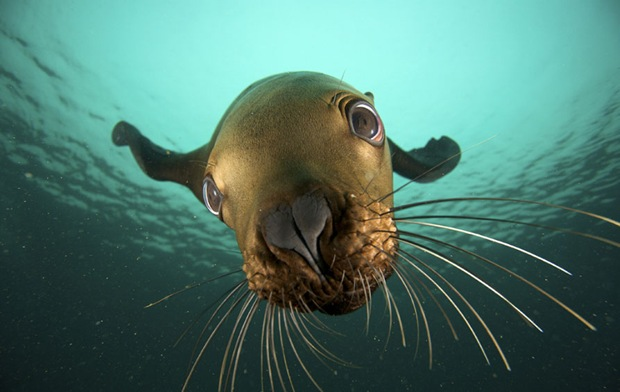Steller Sea Lion Underwater Photography at Hornby Island, British Columbia, Canada