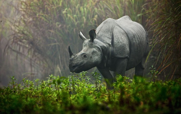 Photography of Rhino in the mist at Kaziranga National Park, India