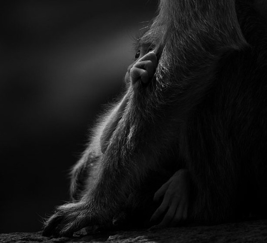 [Baby-Bonnet-Macaque-photography[3].jpg]