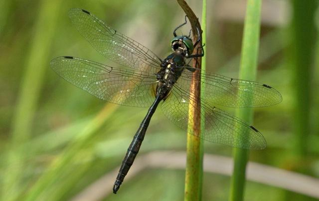 [Hine's-emerald-dragonfly-photography[3].jpg]