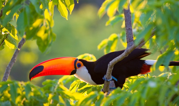 Beautiful-birds-photography of Tucano