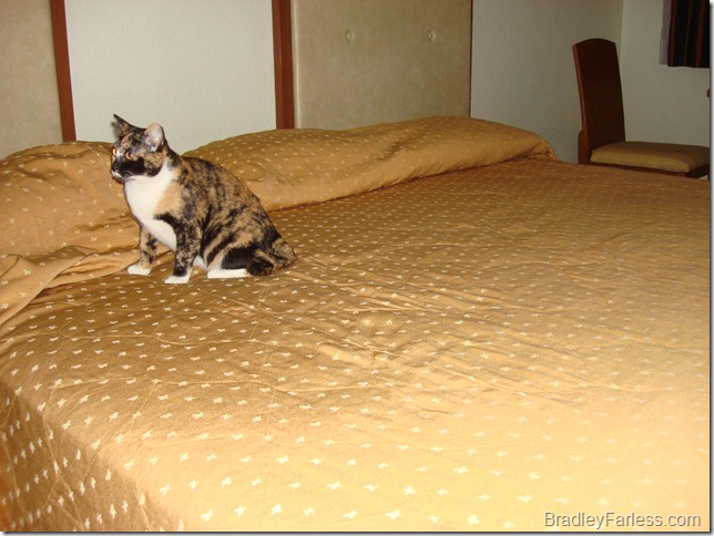 My cat exploring a New Horizon Hotel Superior room.
