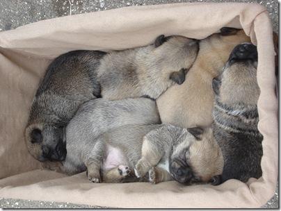 basket of pups