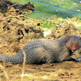 mongoose by Jaliya Rasaputra - Animals Other Mammals ( mongoose )