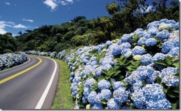 hortênsias na estrada