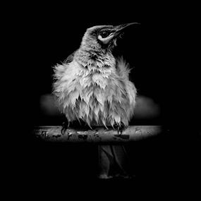 friar bird b&w by Jason Day - Animals Birds (  )