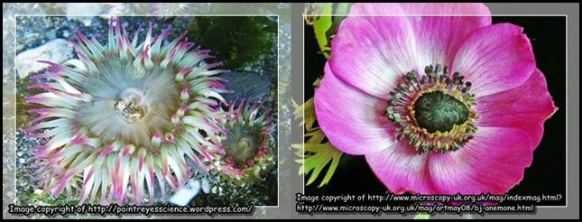 Anemone compare