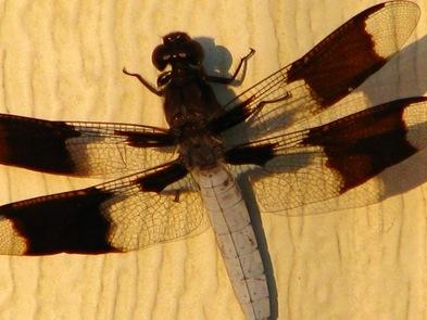 dragonflyonhouse
