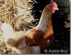 chickens 001