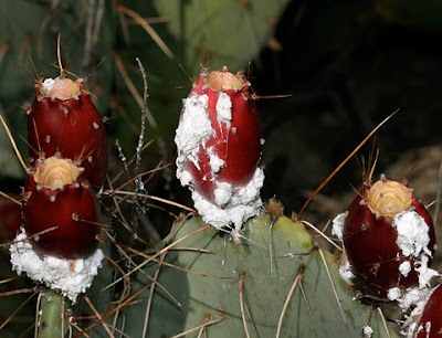 Cochineal scale insects (Dactylopius coccus) on Opuntia engelmannii.jpeg