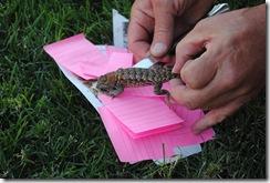 lizard rescue 015