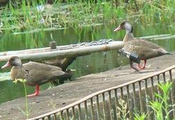 pé-vermelho machos