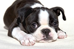 47879385.0410BostonTerrier14