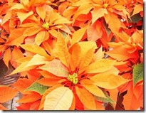 poinsettia_orangies