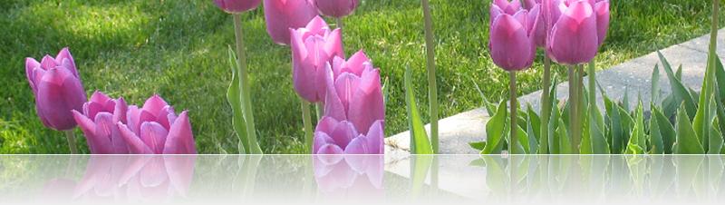 tulip banner 2