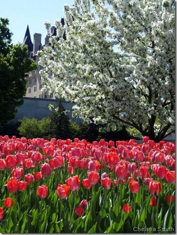 tulips chelsea smith 3