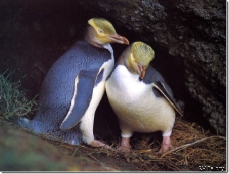 penguins svfelicity