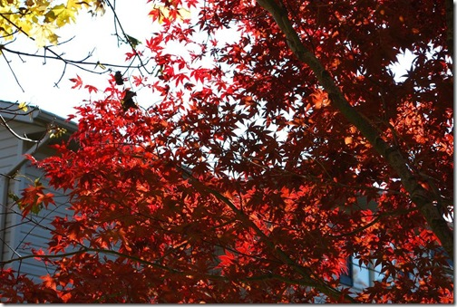 RS japanese maple 2