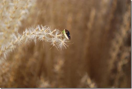 grasses bug 1