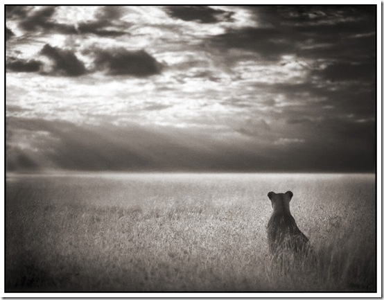 26 Lioness Looking Out Over Plains