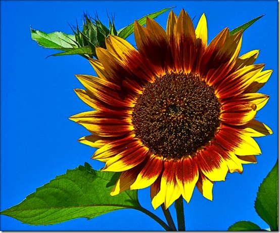 sunflower flickr