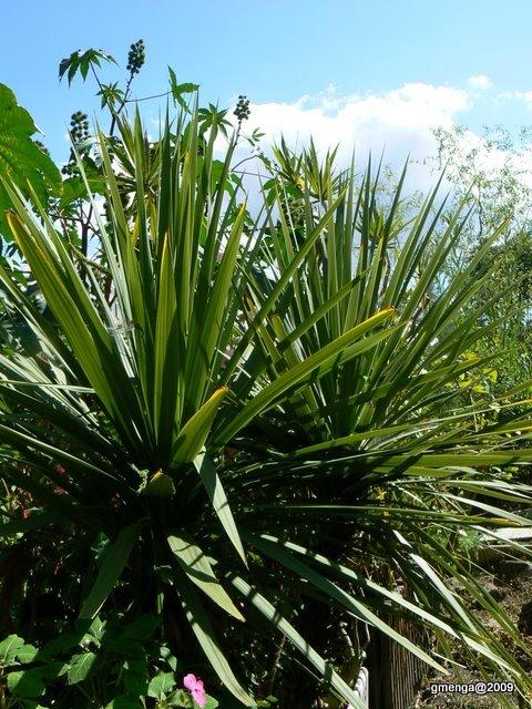 Julesvernehorticulture hivernage des plantes exotiques for Protection plante gel