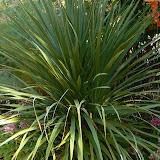 Jules verne horticulture plantes exotiques - Cordyline feuilles qui jaunissent ...