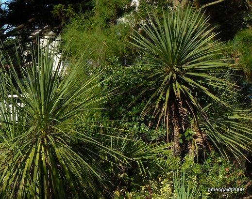 Julesvernehorticulture hivernage des plantes exotiques - Cordyline feuilles qui jaunissent ...