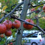 Pommiers d'ornement -  Malus