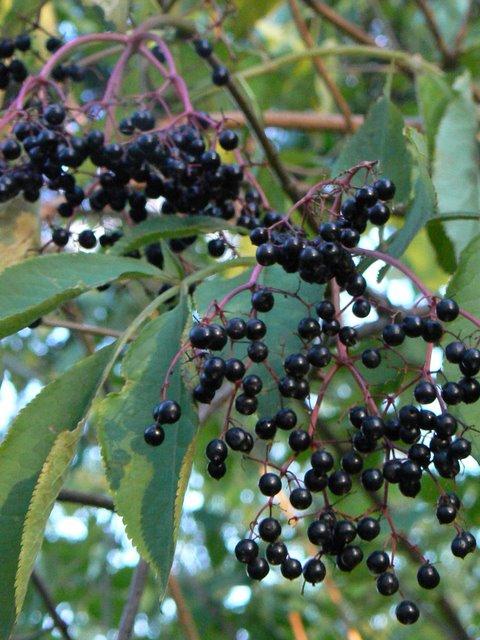 Sambucus nigra (Sureau noir) - plante toxique