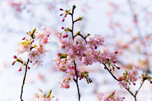 أشجار الكرز والربيع المبكر