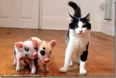 Pets - Miniporcos Micro%20porco%20animal%20de%20estima%C3%A7%C3%A3o%5B2%5D
