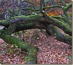 Chêne hybride_arbre remarquable (3)