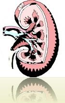 KidneyArt