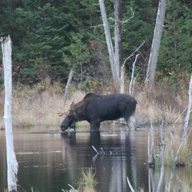 Autumn Moose by Mike Davis - Animals Other ( maine, moose, forest, pond )