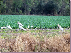 Wood Storks 2