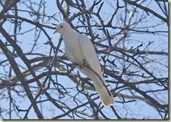 Doves_2962_edited-1