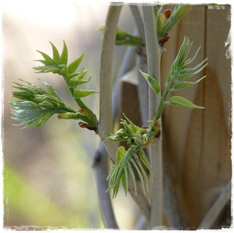 30 wisteria